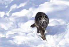 Απομονωμένος μαύρος Λύκος Canis λύκων που περπατά στο χειμερινό χιόνι στον Καναδά στοκ εικόνα με δικαίωμα ελεύθερης χρήσης