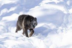 Απομονωμένος μαύρος Λύκος Canis λύκων που περπατά στο χειμερινό χιόνι στον Καναδά στοκ εικόνες