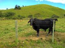 Απομονωμένος μαύρος ταύρος στο πράσινο τοπίο λιβαδιών Βραζιλιάνα βιομηχανία ζωικού κεφαλαίου στοκ φωτογραφίες με δικαίωμα ελεύθερης χρήσης