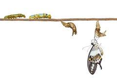 Απομονωμένος μετασχηματισμός της ενωμένης swallowtail πεταλούδας Papilio Στοκ Εικόνες