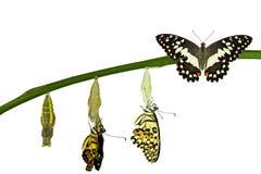 Απομονωμένος μετασχηματισμός της πεταλούδας ασβέστη στο λευκό Στοκ φωτογραφία με δικαίωμα ελεύθερης χρήσης