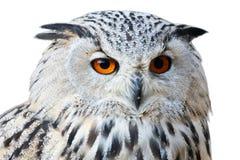 Απομονωμένος μπούφος με τα μεγάλα και όμορφα μάτια πορτοκαλιών του Στοκ Φωτογραφίες