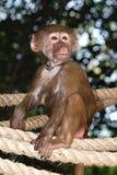 απομονωμένος πίθηκος Στοκ εικόνα με δικαίωμα ελεύθερης χρήσης