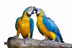 Απομονωμένος παπαγάλος ararauna ara Στοκ εικόνες με δικαίωμα ελεύθερης χρήσης