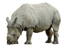 απομονωμένος ρινόκερος Στοκ Φωτογραφία