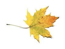 απομονωμένος φθινόπωρο σφένδαμνος φύλλων Στοκ φωτογραφία με δικαίωμα ελεύθερης χρήσης