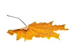 απομονωμένος φθινόπωρο σφένδαμνος φύλλων Στοκ Φωτογραφία
