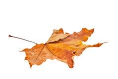 απομονωμένος φθινόπωρο σφένδαμνος φύλλων Στοκ Εικόνα