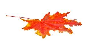 απομονωμένος φθινόπωρο σφένδαμνος φύλλων Στοκ Εικόνες