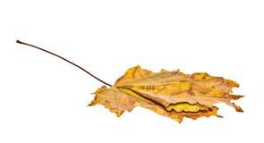 απομονωμένος φθινόπωρο σφένδαμνος φύλλων Στοκ εικόνα με δικαίωμα ελεύθερης χρήσης