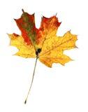 απομονωμένος φθινόπωρο σφένδαμνος φύλλων Στοκ εικόνες με δικαίωμα ελεύθερης χρήσης