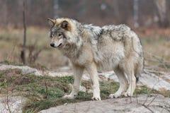 Απομονωμένος λύκος ξυλείας το φθινόπωρο Στοκ εικόνα με δικαίωμα ελεύθερης χρήσης