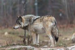 Απομονωμένος λύκος ξυλείας το φθινόπωρο Στοκ Εικόνες