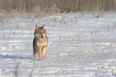 απομονωμένος λύκος στοκ εικόνα