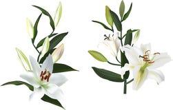 Απομονωμένος δύο άσπρα λουλούδια κρίνων Στοκ εικόνα με δικαίωμα ελεύθερης χρήσης