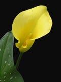 απομονωμένος calla κρίνος Στοκ Φωτογραφία