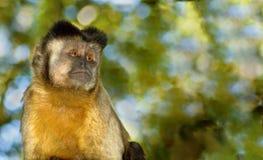 Απομονωμένος Capuchin πίθηκος Στοκ φωτογραφία με δικαίωμα ελεύθερης χρήσης