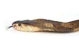 απομονωμένος cobra βασιλιάς Στοκ εικόνα με δικαίωμα ελεύθερης χρήσης