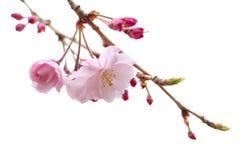 Απομονωμένο άνθος κερασιών λουλουδιών sakura πλήρους άνθισης δέντρο Στοκ Εικόνα