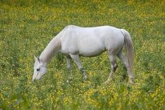 Απομονωμένο άσπρο άλογο Στοκ Εικόνες