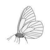 Απομονωμένο άσπρο crataegi aporia πεταλούδων με τις μαύρες περιλήψεις στα φτερά στο άσπρο υπόβαθρο Πλάγια όψη Στοκ Εικόνες