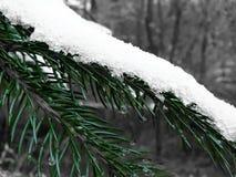 απομονωμένο έλατο λευκό δέντρων στοκ εικόνα με δικαίωμα ελεύθερης χρήσης