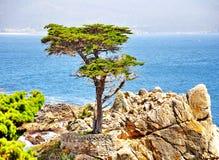 Απομονωμένο δέντρο κυπαρισσιών στην παραλία χαλικιών σε Καλιφόρνια Στοκ Εικόνα
