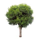 Απομονωμένο δέντρο με τα πράσινα φύλλα στο άσπρο υπόβαθρο Στοκ εικόνες με δικαίωμα ελεύθερης χρήσης