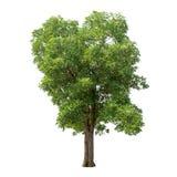 Απομονωμένο δέντρο με τα πράσινα φύλλα στο άσπρο υπόβαθρο Στοκ φωτογραφία με δικαίωμα ελεύθερης χρήσης