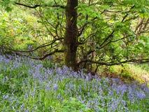 Απομονωμένο δέντρο με τα bluebells Στοκ εικόνες με δικαίωμα ελεύθερης χρήσης
