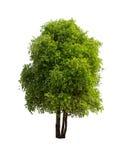 Απομονωμένο δέντρο με το πράσινο φύλλο στο άσπρο υπόβαθρο Στοκ Φωτογραφία