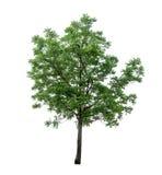 Απομονωμένο δέντρο με το πράσινο φύλλο στο άσπρο υπόβαθρο Στοκ Εικόνες