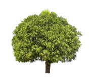 Απομονωμένο δέντρο με το πράσινο φύλλο στο άσπρο υπόβαθρο Στοκ εικόνες με δικαίωμα ελεύθερης χρήσης