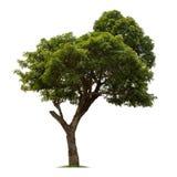 Απομονωμένο δέντρο στο άσπρο υπόβαθρο Στοκ εικόνα με δικαίωμα ελεύθερης χρήσης