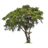 Απομονωμένο δέντρο στο άσπρο υπόβαθρο Στοκ εικόνες με δικαίωμα ελεύθερης χρήσης