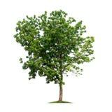 Απομονωμένο δέντρο στο άσπρο υπόβαθρο Στοκ Εικόνες