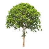 Απομονωμένο δέντρο στο άσπρο υπόβαθρο Στοκ φωτογραφίες με δικαίωμα ελεύθερης χρήσης