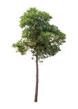 Απομονωμένο δέντρο στο άσπρο υπόβαθρο Στοκ φωτογραφία με δικαίωμα ελεύθερης χρήσης