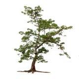 Απομονωμένο δέντρο στο άσπρο υπόβαθρο Στοκ Φωτογραφίες