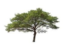 Απομονωμένο δέντρο στο άσπρο υπόβαθρο Στοκ Εικόνα