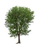 Απομονωμένο δέντρο στο άσπρο υπόβαθρο Στοκ Φωτογραφία