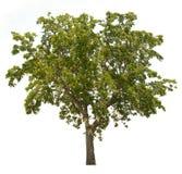 Απομονωμένο δέντρο στο άσπρο υπόβαθρο απεικόνιση αποθεμάτων