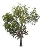 Απομονωμένο δέντρο στο άσπρο υπόβαθρο ελεύθερη απεικόνιση δικαιώματος
