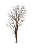 Απομονωμένο δέντρο χωρίς τα φύλλα στο άσπρο υπόβαθρο Στοκ Φωτογραφία