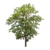 απομονωμένο δέντρο Στοκ εικόνες με δικαίωμα ελεύθερης χρήσης