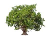 Απομονωμένο δέντρο Bodhi στο άσπρο υπόβαθρο Στοκ Φωτογραφίες