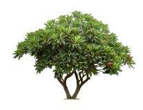 Απομονωμένο δέντρο frangipani ή plumeria στο άσπρο υπόβαθρο Στοκ εικόνα με δικαίωμα ελεύθερης χρήσης