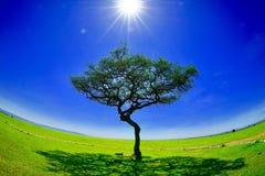 απομονωμένο δέντρο masai της Κένυας mara Στοκ Εικόνες