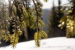 απομονωμένο έλατο λευκό δέντρων Στοκ Εικόνα