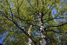 απομονωμένο ανασκόπηση λευκό δέντρων άνοιξη Στοκ Εικόνες